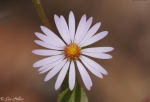 Hot Springs Mountain Trail Aster