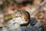 Short Cut Chipmunk