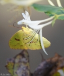 Tufa Terrace Clouded Sulphur on Chinese Honeysuckle