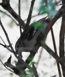 Arlington Lawn Vireo Warbler