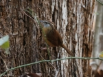 Peak Trail wall Carolina Wren