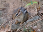 Peak Trail Stone Wall Chipmunk
