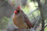 Tufa Terrace Trail Female Cardinal
