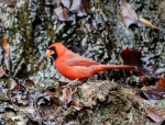 Tufa Terrace Juvenile Male Cardinal