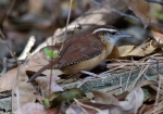 Dead Chief Trail Carolina Wren