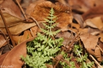 Goat Rock Trail Baby Fern