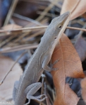 Goat Rock Trail Northern Green Anole