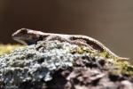 Gulpha Gorge Trail Male Prairie Lizard