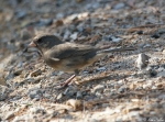 Hot Springs Mountain Trail Female Dark-eyed Junco