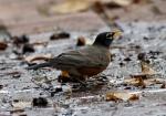 Promenade Juvenile Male Robin