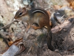 Short Cut Trail Chipmunk