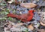 Tufa Terrace Trail Hot Spring Male Cardinal