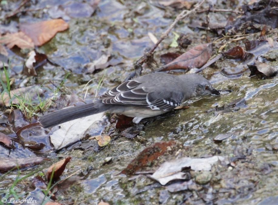 Tufa Terrace Trail Hot Spring Eastern Mockingbird