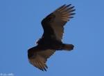 Music Mountain sunset Trail Turkey Vulture