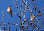 West Mountain Sunset Trail Eastern Bluebird