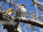 West Mountain Top Trail WhiteThroated Sparrow