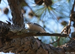 West Mountain Trail White Breasted Nuthatch