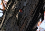 Promenade Red-Bellied Woodpecker