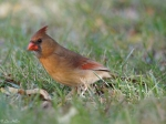 Promenade Lawn Female Cardinal