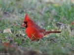 Promenade Lawn Male Cardinal