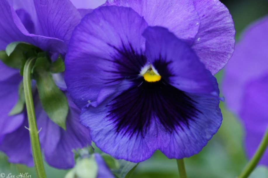 Arlington Hotel Purple Pansy