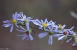 Floral Trail Purple Aster