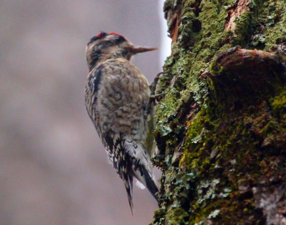 Hot Springs Mountain Trail Fog Male Downy Woodpecker