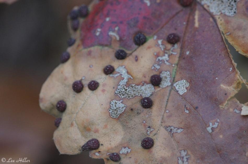 Hot Springs Mountain Trail Autumn Leaf Eggs