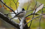 Tufa Terrace Trail Black-Capped Chickadee