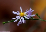 West Mountain Top Trail Purple Aster