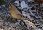 West Mountain Oak Trail Female Cardinal