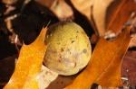 West Mountain Oak Trail Yellow Nut