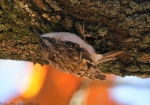 Hot Springs Mountain Trail Brown Creeper