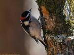 Hot Springs Mountain Trail Male Downy Woodpecker