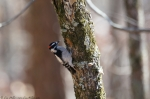 Hot Springs Mountain Trail Male Downy Woodpecker