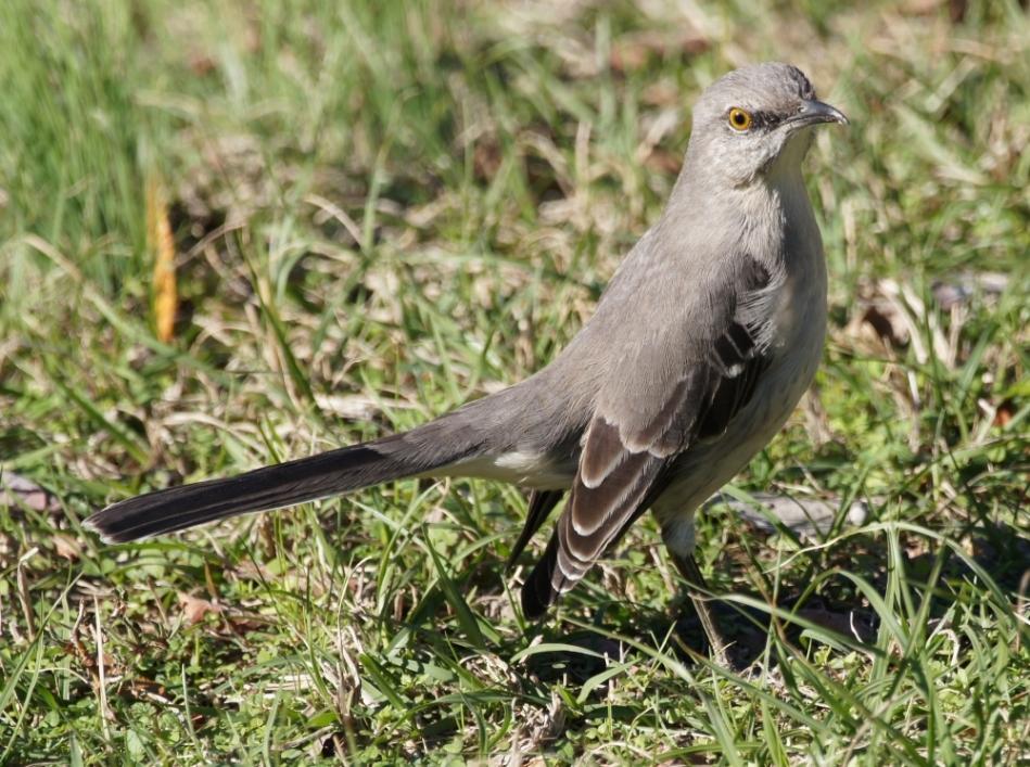 Promenade Northern Mockingbird