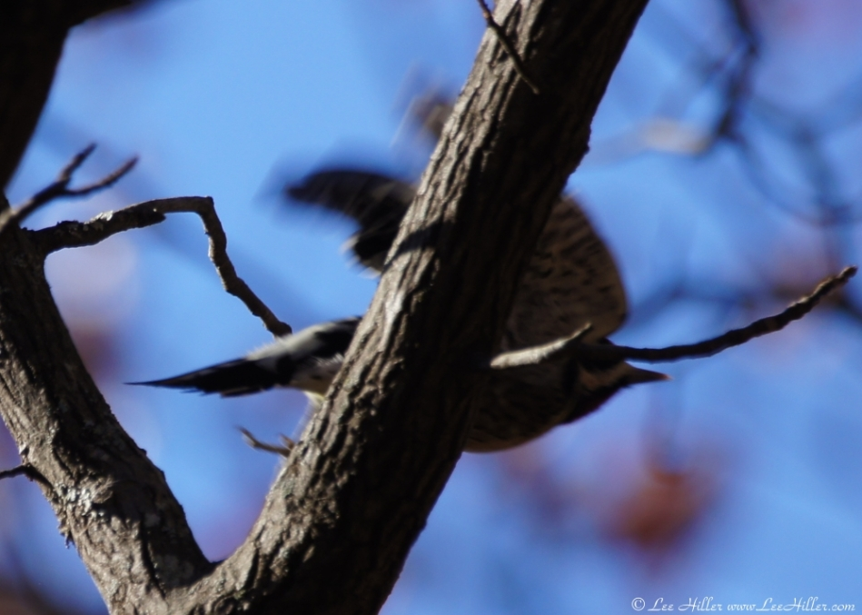 Short Cut Trail Adult Yellow-Bellied Sapsucker