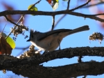 Short Cut Trail Tufted Titmouse