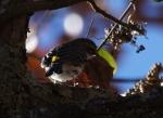 Short Cut Trail Myrtle Warbler - Yellow-Rumped Warbler