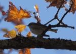 Short Cut Trail  Myrtle Warbler -Yellow-Rumped Warbler