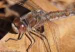 Goat Rock Trail Brown Dragonfly