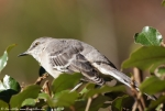 Hot Springs Mountain Road Northern Mockingbird