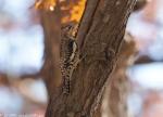 Lower Dogwood Trail Juvenile Yellow-Bellied Sapsucker