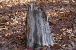 Lower Dogwood Trail Tree Stump