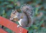 Promenade Dumpster Diver Squirrel