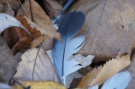 Tufa Terrace Northern Mockingbird Feathers