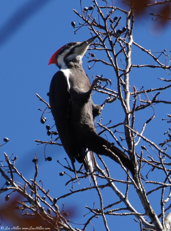 Upper Dogwood Trail Female Pileated Woodpecker
