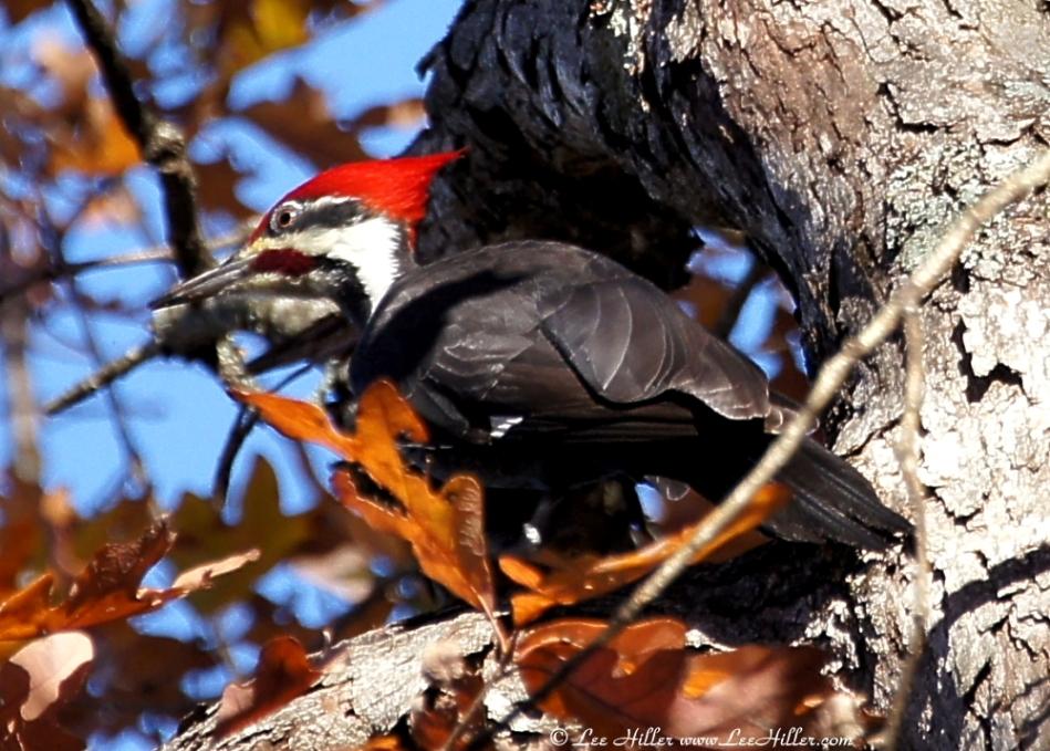 Upper Dogwood Trail Male Pileated Woodpecker
