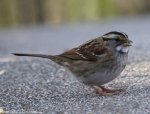 Tufa Terrace White Throated Sparrow