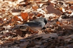 Dead Chief Trail Dark Eye Junco